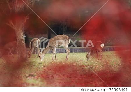 鹿 紅葉 奈良公園 72398491