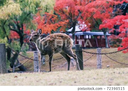鹿 紅葉 奈良公園 72398515