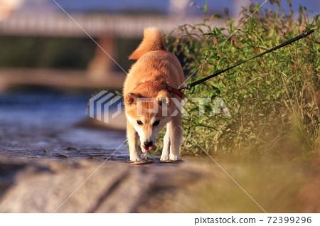 動物 狗 72399296