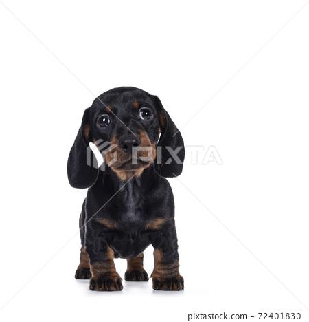 Dachshund teckel dog pup on white 72401830