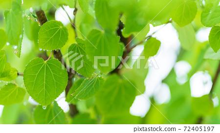 桂的幼葉在雨中濕透 72405197