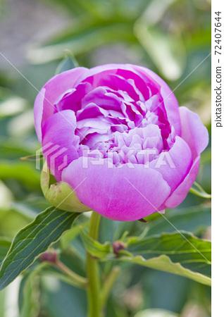 작약 원에 분홍색 작약의 꽃이 피어 있습니다. 이 작약의 이름은 무슈 쥘 에리입니다. 72407644