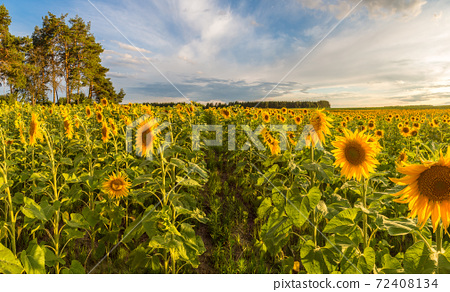 Field of blooming sunflowers 72408134