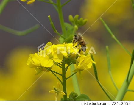 유채 꽃 밭에서 열심히 吸蜜하는 꿀벌 72412655