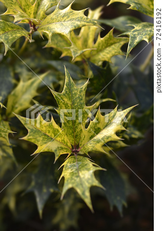 Holly osmanthus Tricolor 72416192