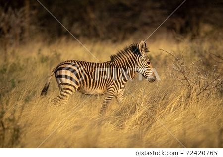 Baby Hartmann mountain zebra walks through grass 72420765
