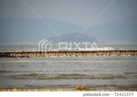물떼새,유부도,충남 72421377