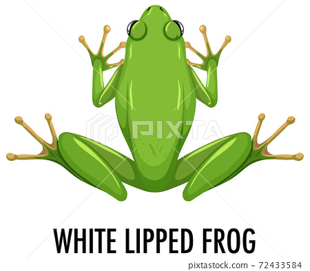 White lipped frog isolated on white background 72433584