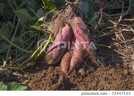 收穫糖果,新鮮挖出的薩摩土豆,地瓜田,圖像材料 72447533