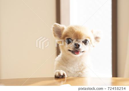 Chiwawa的前腿在桌子上微笑著 72458254