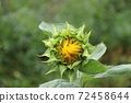 Bud or young sunflower on the tree with blooming flower and green background 72458644