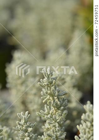 Cypress lavender cotton 72459751