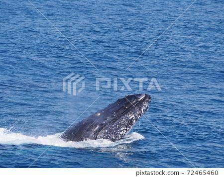 澳大利亞野鯨 72465460