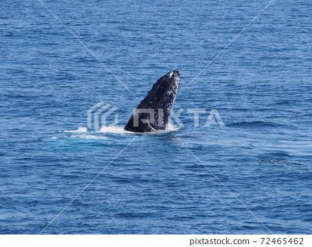 澳大利亞野鯨 72465462
