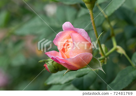 士林官邸,玫瑰園,浪漫,情人節,粉紅,玫瑰花 72481769