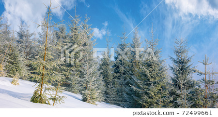 spruce forest on a misty morning. beautiful landscape in winter. misty weather with bright sky. hillside covered in snow 72499661