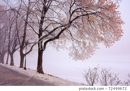 trees in mist on a frosty morning. wonderful urban scenery in wintertime. location linden alley on the embankment of river uzh 72499672