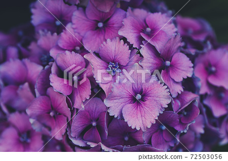 Blooming purple hydrangea or hortensia, close up 72503056
