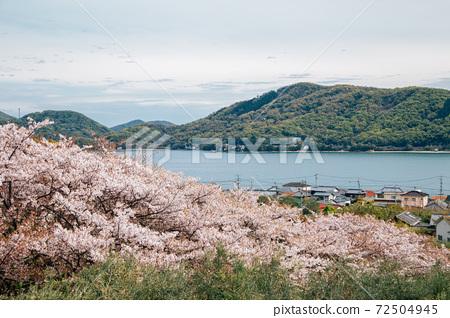 Cherry blossoms blooming seaside village scenery at Shodoshima Olive park in Kagawa, Japan 72504945
