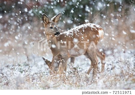 Roe deer observing on field in blizzard in winter. 72511971