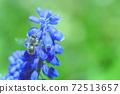 *蜜蜂从穆斯卡里吮吸蜂蜜 72513657