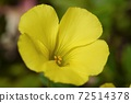 Yellow flower-Oxalis oxalis-Macro photography 72514378