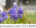穆斯卡里-春天的花朵/球根多年生草 72514696
