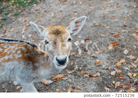 Beautiful young fallow deer in the autumn forest.  72515236