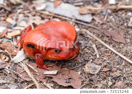 big red Tomato frogs, Dyscophus antongilii 72515248
