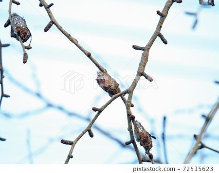 在一棵秋天的樹的樹枝上的Kussan的繭 72515623