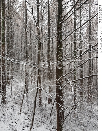 눈이 내린 겨울 아침에 메타세콰이어 설경 72516677