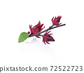 Roselle hibiscus on white background. 72522723