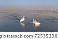 white swan in winter 72535330