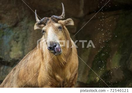 타마 동물원에있는 중국 매우 희귀 동물 럼 72540121