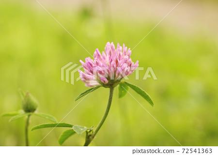 Shirotsumegusa(三葉草)的小粉紅色花朵很可愛 72541363