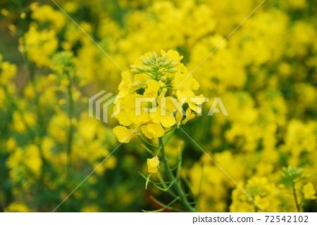 유채꽃 72542102