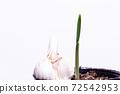 마늘의 발아. 마늘 친자. 슈퍼에서 산 마늘을 심어 보았다 실험. 72542953