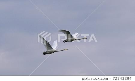 Swan flying in the wilderness of Hokkaido 72543894