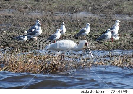 보츠와나의 쵸베 강 보트 사파리, 저어새 72543990