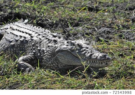 博茨瓦納的喬貝河船野生動物園,躺在岸邊的鱷魚 72543998