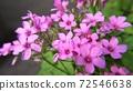 Oxalis-pink wild grass (Oxalis) 72546638