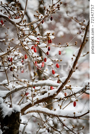雪樹和紅色山茱berries漿果 72547757