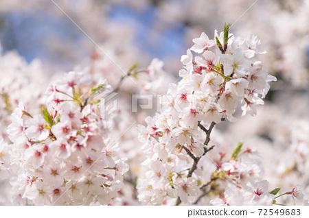 櫻花盛開,藍藍的天空 72549683