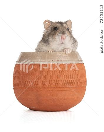 Portrait of a grey hamster in an earthenware bowl 72553112