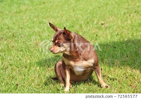 잔디 밭에 앉아 있는 귀여운 강아지 72565577