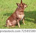Cute puppy sitting on the lawn 72565580