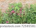 Pretty azalea flowers in the garden 72565581