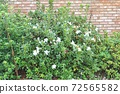 A pretty flowerbed with white azaleas blooming 72565582
