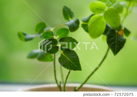 Young rose bush growing in pot on green background 72572075