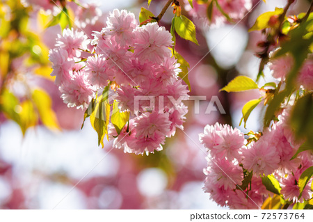pink cherry blossom closeup. beautiful nature background in spring on a sunny day in park 72573764